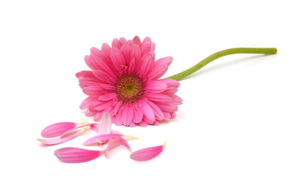 Pink Daisy Flower for Reema Sukumaran, Author/Speaker/Coach